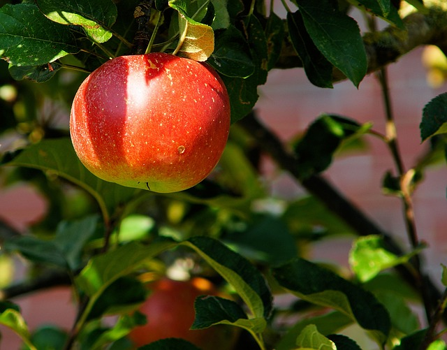 Äpplen till självplock11/9