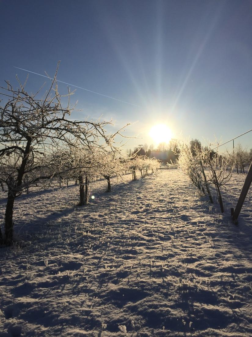 Vinter i fruktträdgården